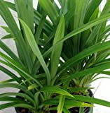 Pandan Leaves Plant - Amaryllifolius pandanus - Grow Indoors or Out - 4