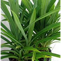 Pandan Leaves Plant - Amaryllifolius pandanus - Grow Indoors or Out - 4