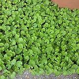 [タネ]ダイカンドラ(ダイコンドラ):緑葉500g[春・秋まき 約38平米分]