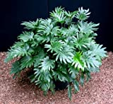 Xanadu Philodendron - Easy to Grow House Plant - 4