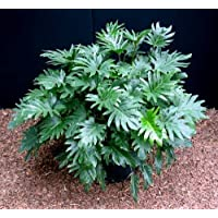 Xanadu Philodendron - Easy to Grow House Plant
