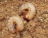 国産カブトムシ 幼虫 1匹