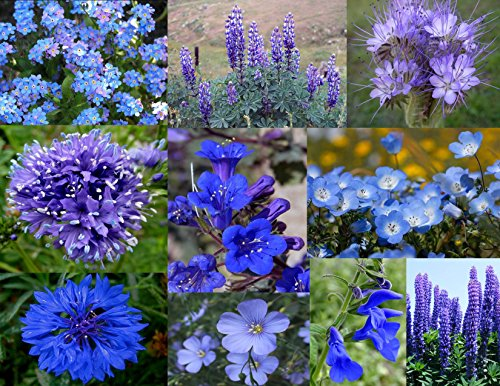 "Wildflower Seeds ""Best of the Blues"" 1000 seeds. Annuals & Perennials, for many years of blooms! *Plus a FREE Wildflower gift!"