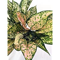 Etta Rose Chinese Evergreen Plant - Aglaonema - Grows in Dim Light - 6