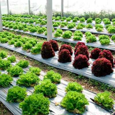 Plastic mulch and plants