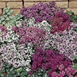Suttons Seeds 100886 Alyssum Easter Basket Seed