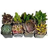 Fat Plants San Diego Succulent Plants (8) (Color: red, orange, yellow, green, blue, purple, pink)
