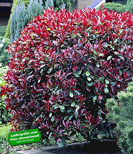 baldur garten photinia hecke 39 red robin 39 1 pflanze. Black Bedroom Furniture Sets. Home Design Ideas
