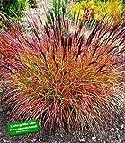"""BALDUR-Garten Winterhart Chinaschilf """"Red Chief"""" 1 Pflanze Miscanthus sinensis"""