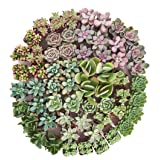 Shop Succulents Premium Pastel Succulent (Collection of 100) (Tamaño: Pack of 100)