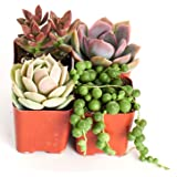 Good Juju Succulent Collection (Four Pack of 2