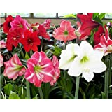 3 Mixed Amaryllis Bulbs.Special Holiday Bulk Pricing! Wonderful to Gift As-is to Your Gardening Friends, or Jazz These Bulbs up Yourself with Clever Packaging to Put Your Own Style Into Your Gift!