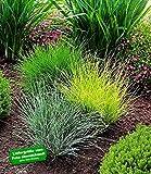 BALDUR-Garten Gräser-Trio 3 Pflanzen Ziergräser Festuca glauca Elijah Blue