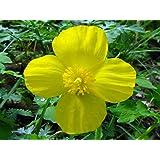 Stylophorum diphyllum | Celandine Poppy| 10_Seeds