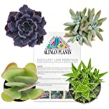 Altman Plants Assorted Live Succulents All Time Favorite Collection Mini plants for DIY planters and terrariums, 2.5