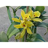 Rare Vanilla Planifolia Bean Rooted Plant/Ready to Grow Indoor/Outdoor/100% Successful 3 Plants for Sale