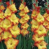 Princess Margaret Rose Hybrid Gladiolus 10 Bulbs 14/+ cm