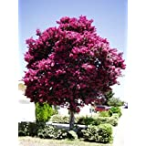 Large Twilight Crape Myrtle, 3-4ft Tall When Shipped, Matures 22ft, 1 Tree, Rich Sunset Purple/Pink (Shipped Well Rooted in Pots with Soil) (Color: Large Purple/Pink Flowers, Tamaño: 3-4ft When Shipped)