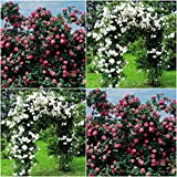 (Combo Of 2 Colors) Floral Treasure White & Pink Climbing Rose Seeds - Pack Of 20