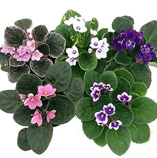 Novelty African Violet