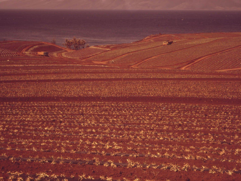 Buy Maui Land Pineapple Now!