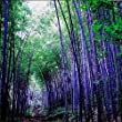Rare purple Timor Bamboo Seeds Bambusa black bamboo seeds planted courtyard Yi 100 PCS - package