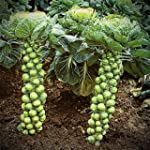 Brussels Sprout Seeds - 200+ Rare Hei...