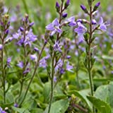 Speedwell Seeds (Veronica officinalis) 30+ Rare Medicinal Herb Seeds + FREE Bonus 6 Variety Seed Pack - a $29.95 Value! Packed in FROZEN SEED CAPSULES for Growing Seeds Now or Saving Seeds for Years