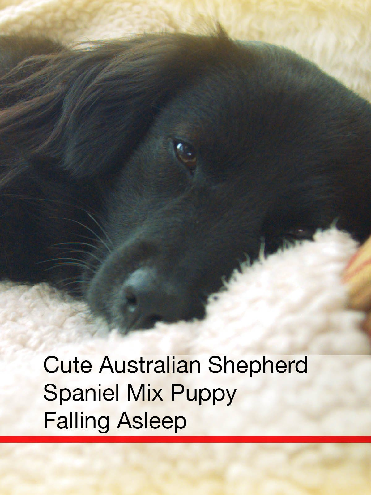 Clip: Cute Australian Shepherd Spaniel Mix Puppy Falling Asleep