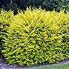 Ligustrum ovalifolium Aureum - 1 plante de haie