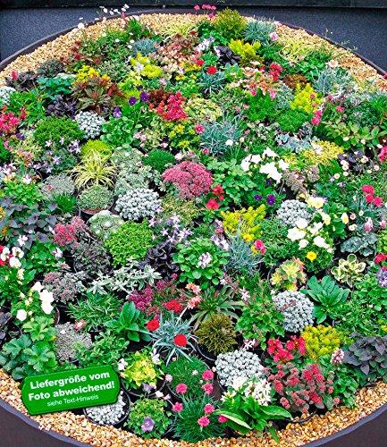 baldur garten winterhart steingarten stauden mix 10 pflanzen. Black Bedroom Furniture Sets. Home Design Ideas