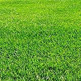 芝の種:トールフェスク インフェルノ1kg[極細葉、極緻密、高品質!わい性の西洋芝 ~50平米分]