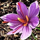 25 Saffron Crocus Corms