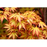 Little Sango Dwarf Coral Bark Japanese Maple Acer palmatum 'Little Sango' Coral Red Bark is Bright Red, Year Round Beauty 1 - Year Live Plant