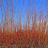 100 Common Dogwood Plants / Cornus Sanguinea 40-60cm Tall, Stunning Winter Colours