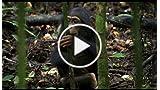 Chimpanzee: See Chimps, Save Chimps