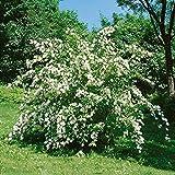 Maiblumenstrauch-wei-blhend-1-Pflanze
