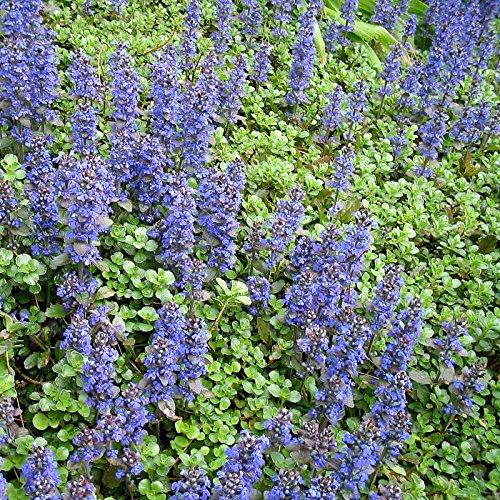 ajuga-reptans-bugle-rampant-bleu