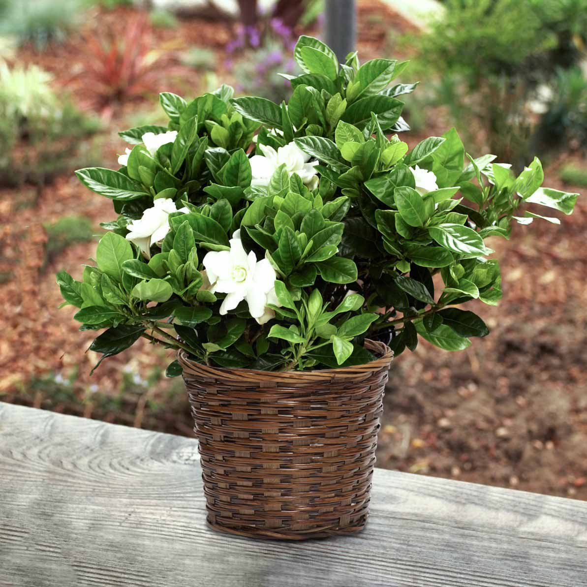 Popular tropical plants indoor plant tips com for Flowering plants for indoors