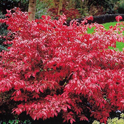 euonymus-alatus-burning-bush-2-shrubs