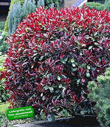 baldur garten photinia hecke 39 red robin 39 1 pflanze. Black Bedroom Furniture Sets. Home Design Ideas