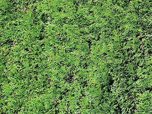thuja-green-giant-arborvitae-5-potted-plants