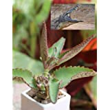 Kalanchoe daigremontia Mexican hat Plant Succulent Father's Day Rare