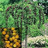 Stachelbeer-Stamm Hinnonmäki gelb
