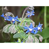 200+ Borage Seeds- Heirloom Herb Variety