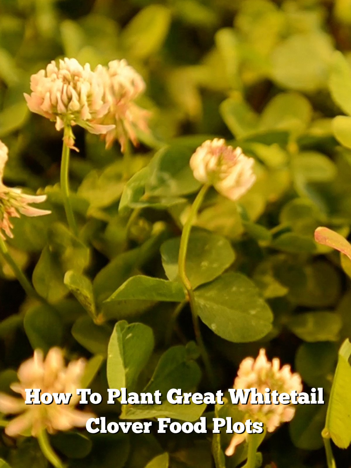 How To Plant Great Whitetail Clover Food Plots