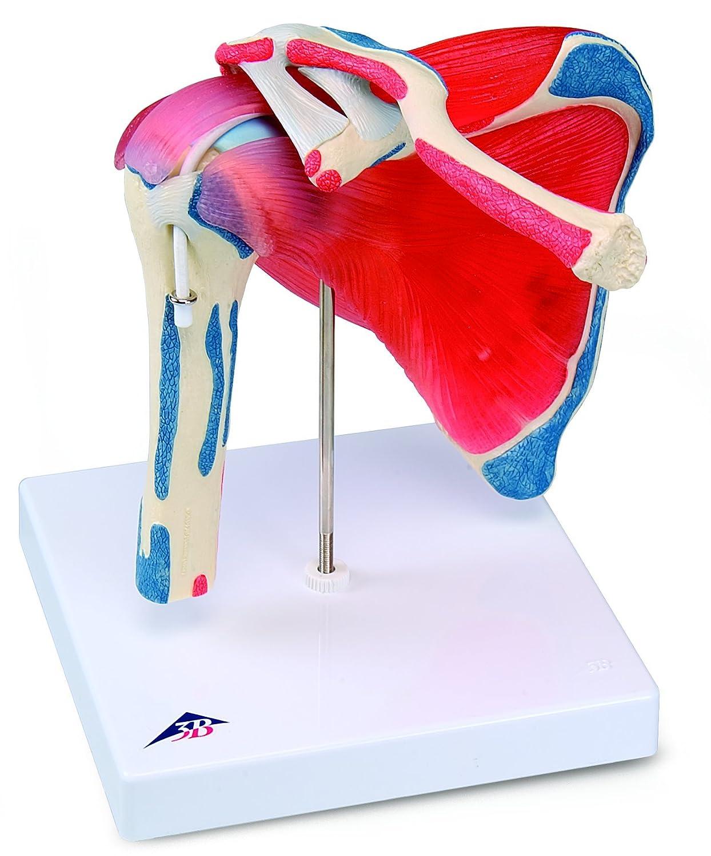 Shoulder Ligament Model Part Shoulder Joint Model