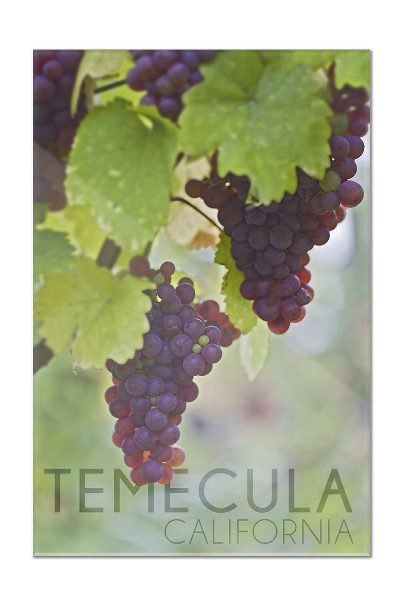 Temecula, California - Wine Grapes on Vine