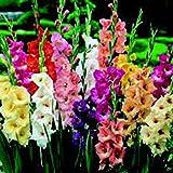 Gladiolus, Bulb (20 Pack) Mixed Pastel, Mixed Pastel Perennial Gladiolus Bulbs