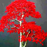 Maple Seeds Chinese Bonsai Maple Tree Seeds Bonsai Plants Trees for Flower Pot Planters, Blue/Red(20pcs,#1) (Color: #1, Tamaño: 20pcs)